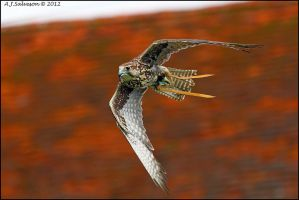 Saker Falcon. by andy-j-s
