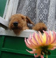 Airedale 19 by AnnLoz