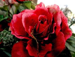 Red Rose Edit by cartmaneric
