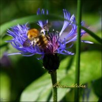 Bumblebee on blue flower by Cassiopeeh