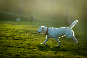 Labrador by Kelshray-photo