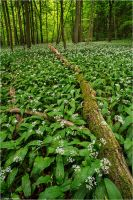 Ramson forest by Aphantopus