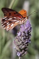 Buenos Aires Butterfly by papatheo