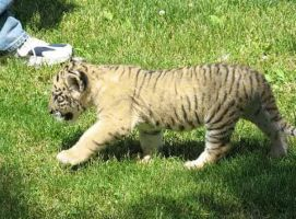 Liger-cub-oden-walking by X0xanthefaith0X