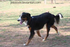 collie mix by jettstock