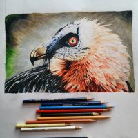 Bearded Vulture by MidknightAlpha
