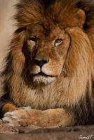 African Lion by JeRReZ