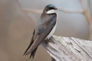 Tree swallow by concaholic