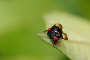 Red eye Treehopper by melvynyeo