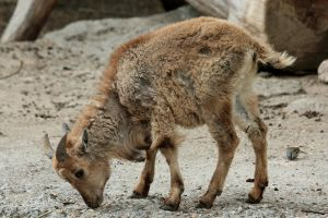 Barbary Sheep child by Drezdany-stocks