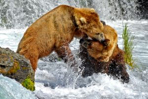 Bear Fight 2 - Alaska by fourthwall