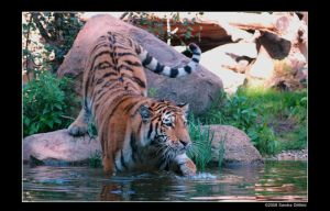 Siberian Tiger 9 by grugster