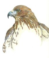 Red Tailed Hawk by Akayana