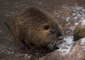 baby nutria by bookscorpion