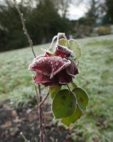 Frozen Rose by LouisTN