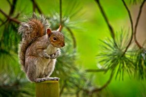 Squirrel on a Post by cathy001