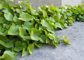 Ivy Leaves_White Sand_Stock by Chlodulfa