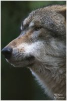 Portrait of a Grey Wolf by W0LLE