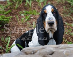 Basset Rescue 3 by BlackDogBarnyard