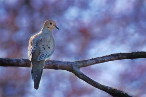 Mourning Dove by Kintarotpc