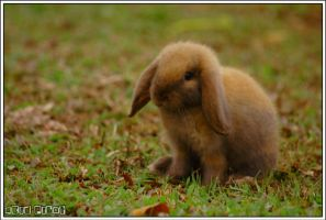 the brown rabbit by acidpilot