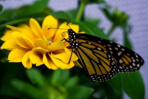 Monarch Butterfly by xXCold-FireXx