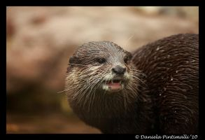 Otter: Little Teeth by TVD-Photography
