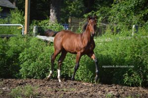 Bay quarter horse foal walk by equustock