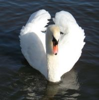 A male Swan by Ommadawn