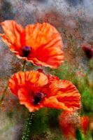 Poppies in profusion by bale2012