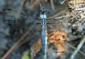 Dragonfly 2008-02 by Aries18o18