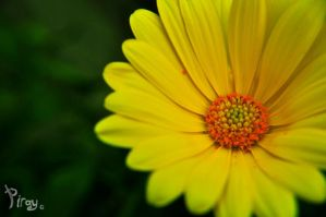 Yellow Flower by Pi-ray
