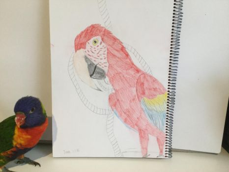 Scarlet macaw by Petsnmore