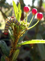 Monarch caterpillar by fluffylink