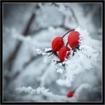 Winter Red by atiratha