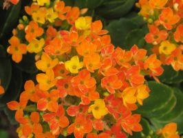 232 Kalanchoe by crazygardener