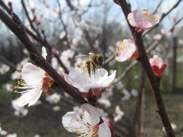 Apricot Blossoms Bee by Maylar