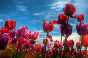 Tulip Field HDR by ashgrey13