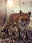 Red Fox by SPRSPRsDigitalArt