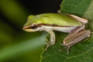 Northern Dwarf Tree Frog by ribbonworm