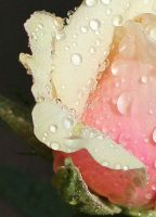 Pearls of Dew on a Rose by AgiVega