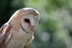 Barn Owl by HappyRaindrop