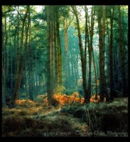 Forest Light - Colour Version by Forestina-Fotos