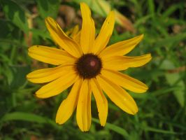 black eye susans 4 by Stock-Tenchigirl15
