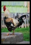 King of Garden - The Rooster by iuli72an