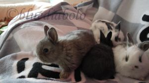 babybunnies 4 weeks old2 by bluediabolo