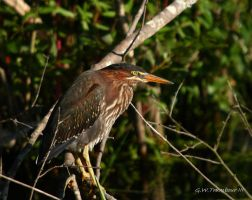 Green Heron youngster by natureguy