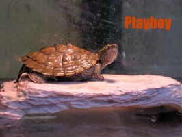 Playboy Turtle by Keome