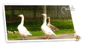 Geese out of border by Miha3lla