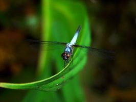Dragonfly by MarcWasHere